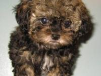 One of a kind. The Shihpoo~poo is a mixture of Shih Tzu