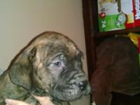 Marion,oh $650.00 Female brindle ultimate mastiff