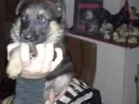 Purebred German shepherd young puppies, will be all set