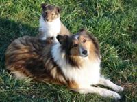 Ladd's April is an impressive little sheltie female.