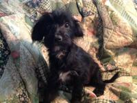 This cute Yorkie Poo is all about personality and