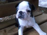 This A.K.C. Boston Terrier male will come with his