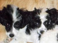 TOY POODLE PUPPIES FOR SALE...... Tiny, Parti-Colors,