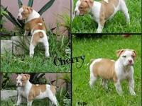 We have this beautiful 3rd generation Byfb Female puppy