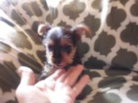 Mother Abby is a AKC 6 lbs Yorkie & & Dad Friend is AKC