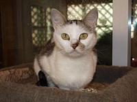 Abbie's story Abbie is a female Domestic Short hair who