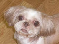 I am an adorable 7 yr old, 9 lb liver and white Shih