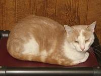 My story Meet Abbodanza a buff tabby with white male