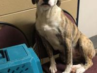 Abby is a 2yr Bulldog/Hound mix girl who found herself