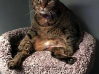 Abby is a 3 year-old DSH Tabby who's sweet and loving.