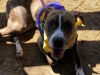 Meet Abby! Abby is a 3 year old female American Pit