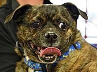 Abby's story Abby is a 7 year old pug mix female. She