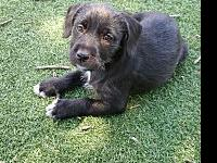 Abby's story Abby Terrier Mix Female 8 Weeks Old Abbyy