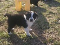 ABC Border Collie puppies born January 31 are ready to