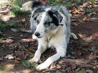 I have a Blue merle Male available. He is approximately