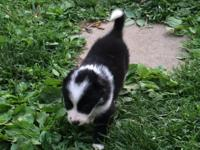 8 registered border collie pups. Wormed twice, 1st