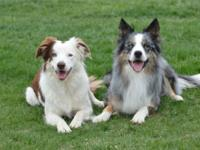 True Border Collies bred for sound structure, balanced