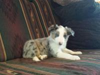 Premium ABCA registered Perimeter Collie new puppies.