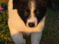 Milo is a registered, healthy, black and white, male