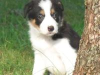 I have three amazing border collie puppies available to