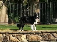 AKC,ABCA REGISTERED BORDER collie PUPPIES DUE TO BE