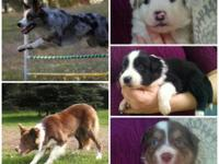 Gorgeous Border Collie puppies born February 9th! ABC