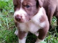 Ready august 6th. 4 male abca border collie pups. BoTh