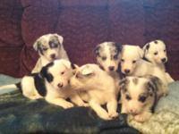 We have a litter of border collie puppies. 2 males 5