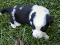 We have 4 beautiful border collie pups for sale. All