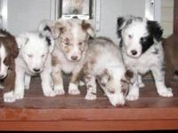 ABCA Border Collie pups for farm or family. Merle, red,