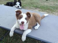Our sweet pick-of-litter red & & white male puppy,