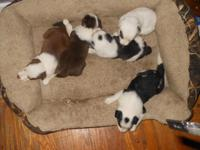 Nice litter of happy,playful,beautiful pups from our