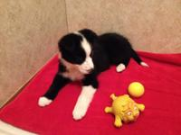 Beautiful ABCA registered Border Collie female puppy.