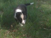 ABCA Registered Border Collie Puppies. The paperwork is