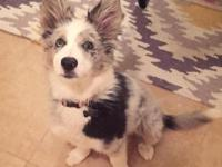 have an almost 11 month old female blue Merle border
