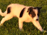Diesel is a registered, healthy, black and white tri,