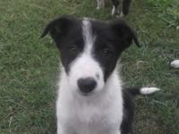 2 lovely female ABCA Border Collie young puppies for