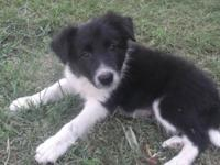 2 stunning male ABCA Border Collie young puppies for