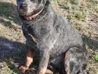 Abe is a large male Blue Heeler mix, blue merle and tan