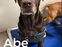 Abe 116306's story Abe is an approx 5 yr old lab. What