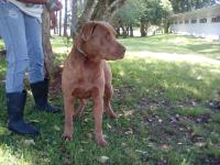 2-3 yr old male Chocolate lab mix about 60 pounds. He