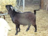 One of two twin black bucklings sired by 4RB BLACK