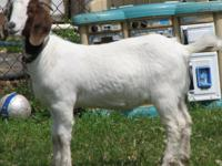 Description Beautiful Boer Doe. DOB 4-8-09 Friendly,