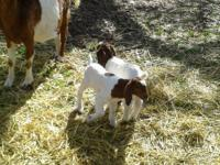 I have 2 ABGA fullblood 100% Boer bucklings. Born