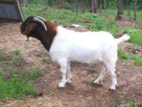 I have for sale a ABGA Registered Boer Billy goat for