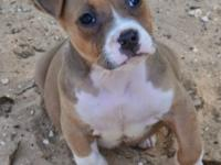 9 weeks 4 days old, Abkc American Bully female. Will