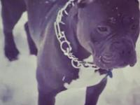i have a two year old american bully for sale good with
