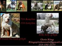 ABKC reg American Bully Puppies. 8 weeks, UTD on