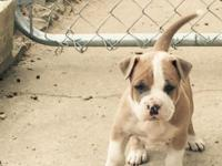 I have one male Ameican Bully pup left, he is 2x