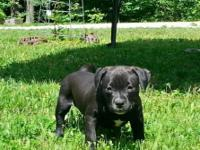 Stunning Primarily black American Bully lady dog. Both